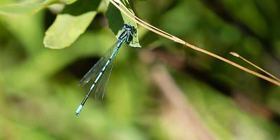 Coenagrion puella - Azure Bluet