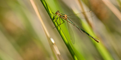 Lestes sponsa - Common Spreadwing