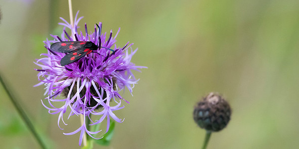 Possibly Zygaena viciae - New Forest Burnet