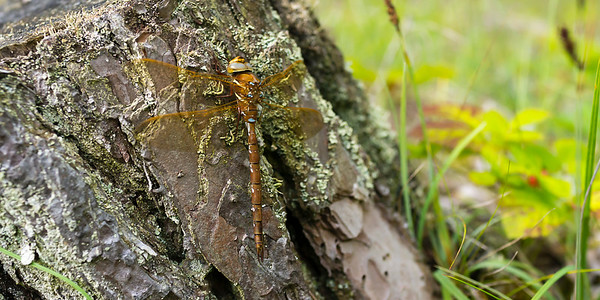 Aeshna grandis - Brown Hawker