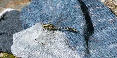 Onychogomphus forcipatus - Small Pincertail - landed on wet socks at Hejhölen near Blistorp