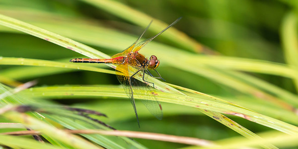 Sympetrum flaveolum - Yellow-winged Darter