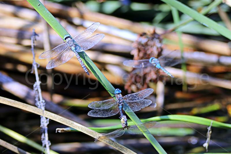 Four Dragonflies