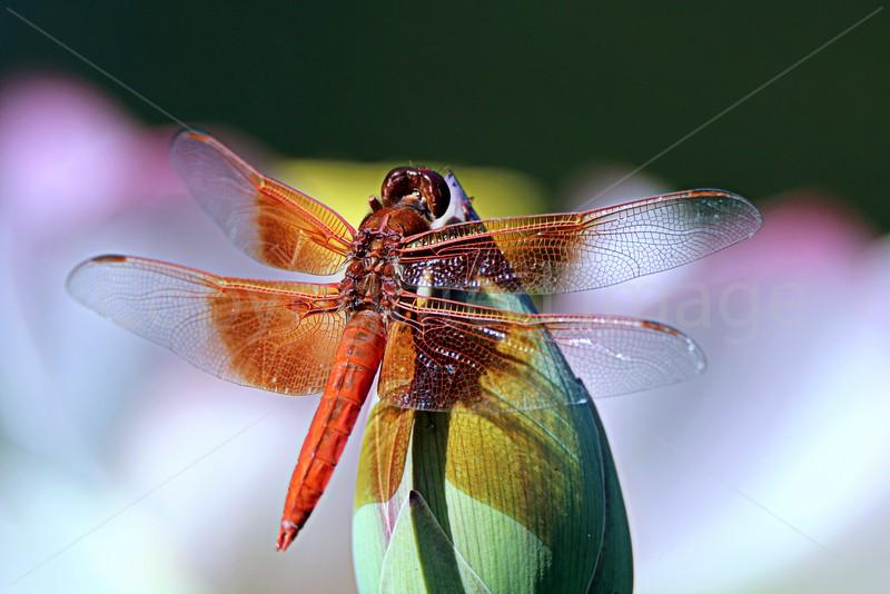 Bud & Dragonfly
