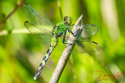 Easter Pondhawk Dragonfly