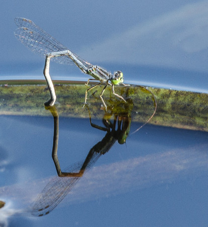 Damselfly Laying Eggs