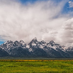 Buffalo under the Tetons