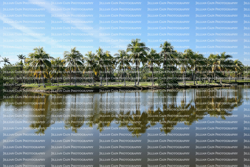 Beautiful palm trees reflected in Fairchild Tropical Botanic Garden's Center Lake. Fairchild is a world premier tropical garden with the largest collection of palm and cycads in 83 acres.