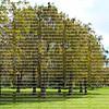 Pond Cypress Trees