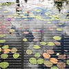 Looking down at a large collection of colorful water lilies with the sky reflected in the water.