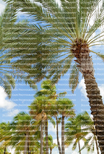 Wind blown palm trees