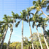 Tall Florida royal palm trees at the Bonnet House Museum and Gardens in Fort Lauderdale, Florida, USA.