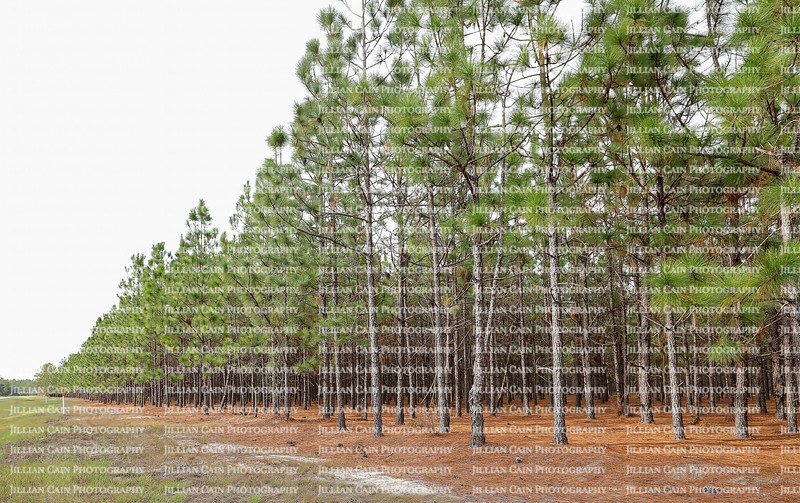 A grove of pine trees growing in rural Georgia along a state highway.