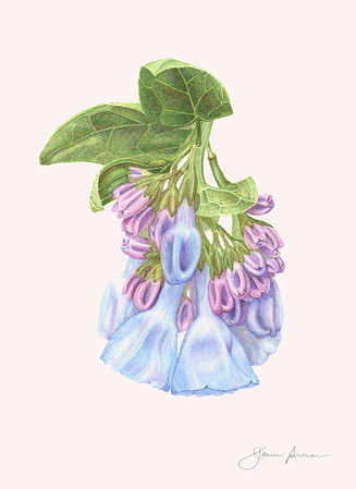 "Virginia Bluebells - Watercolor 8"" x 11"" Exhibited at Botanica: The Art and Science of Plants, Brookside Gardens, Summer 2016"