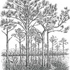 Florida Scrub Pine Illustration by Drake Sprague
