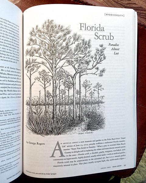 Florida Scrub Pine Illustration by Drake Sprague