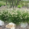 shrub 7 hameln dwarf fountain grass
