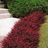 shrub 12 crimson pygmy barberry