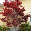 tree 4 red upright japanese maple