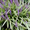 shrub 13 variegated liriope