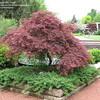 Acer palmatum var. dissectum 'Garnet'