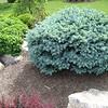 shrub 4 Globosa Blue spruce