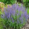 shrub 11 perennial salvia 'May night'