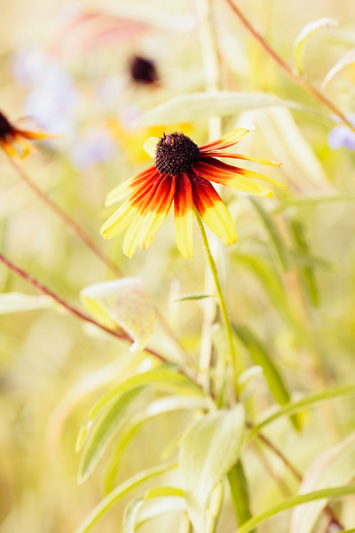 Cone Flower Sunlight