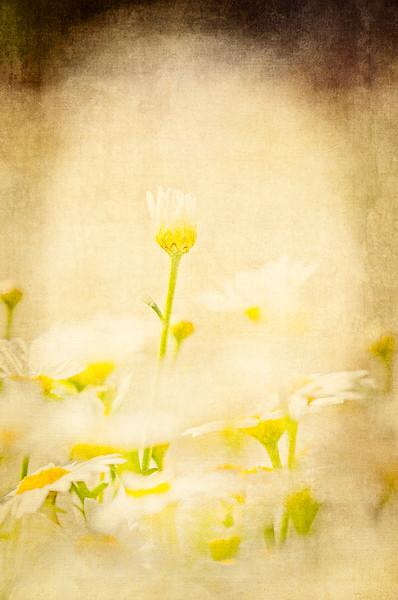 Argyranthemum Alessia