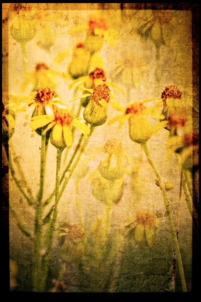 Groundsel Flowers