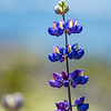 Lupine Bloom
