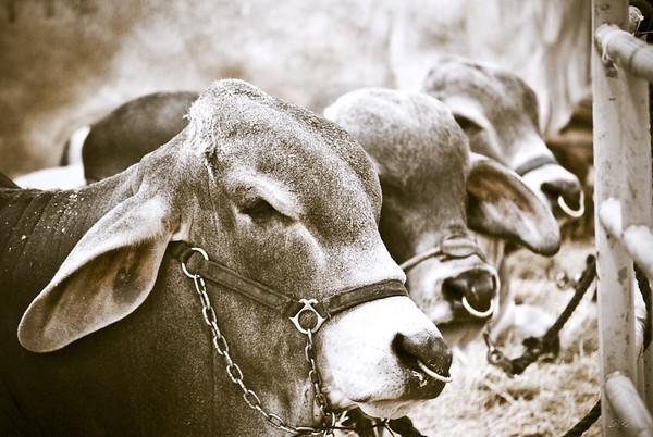 Hunchback Cows
