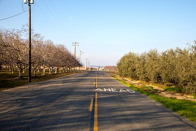 Kanwarjit Boparai has planted two acres of olive trees (right) in the agricultural area of Lemoore, CA.