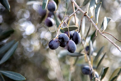 Ripe olives still hang on the trees months after harvest.