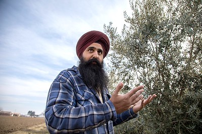 Securing labor to pick the olives is expensive, says Kanwarjit Boparai, but his orchard is too small for mechanical picking. During the last harvest, his crew stopped before picking all the trees.