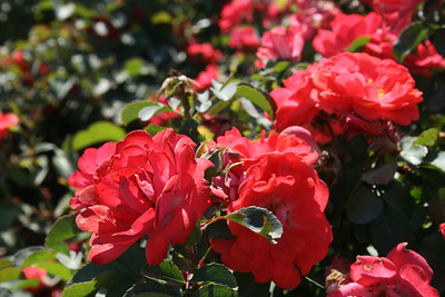 Coral Drift® Rose PP19148 http://www.greenleafnursery.com/index.cfm/fuseaction/plants.plantDetail/plant_id/2491/index.htm