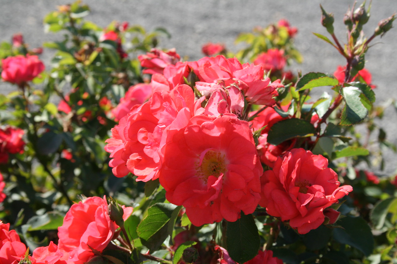 Coral Drift® Rose PP19148 http://www.greenleafnursery.com/index.cfm/fuseaction/plants.plantDetail/plant_id/2491/index.htm