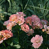 Peach Drift® Rose PP18542 http://www.greenleafnursery.com/index.cfm/fuseaction/plants.plantDetail/plant_id/2494/index.htm