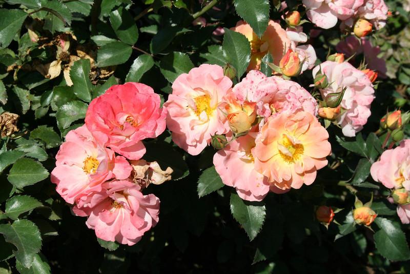 Peach Drift® Rose PP18542 http://www.greenleafnursery.com/index.cfm/fuseaction/plants.plantDetail/plant_id/2494/index.htm