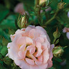 "Peach Drift® Rose PP18542 <a href=""http://www.greenleafnursery.com/index.cfm/fuseaction/plants.plantDetail/plant_id/2494/index.htm"">http://www.greenleafnursery.com/index.cfm/fuseaction/plants.plantDetail/plant_id/2494/index.htm</a>"