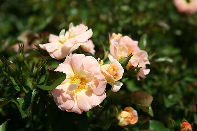 Peach Drift® Rose