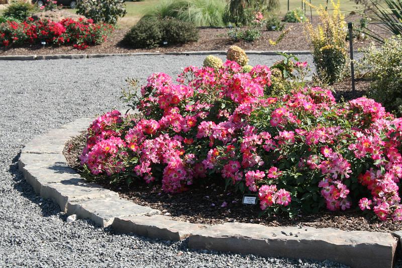 Pink Drift® Rose PP18874 http://www.greenleafnursery.com/index.cfm/fuseaction/plants.plantDetail/plant_id/2495/index.htm