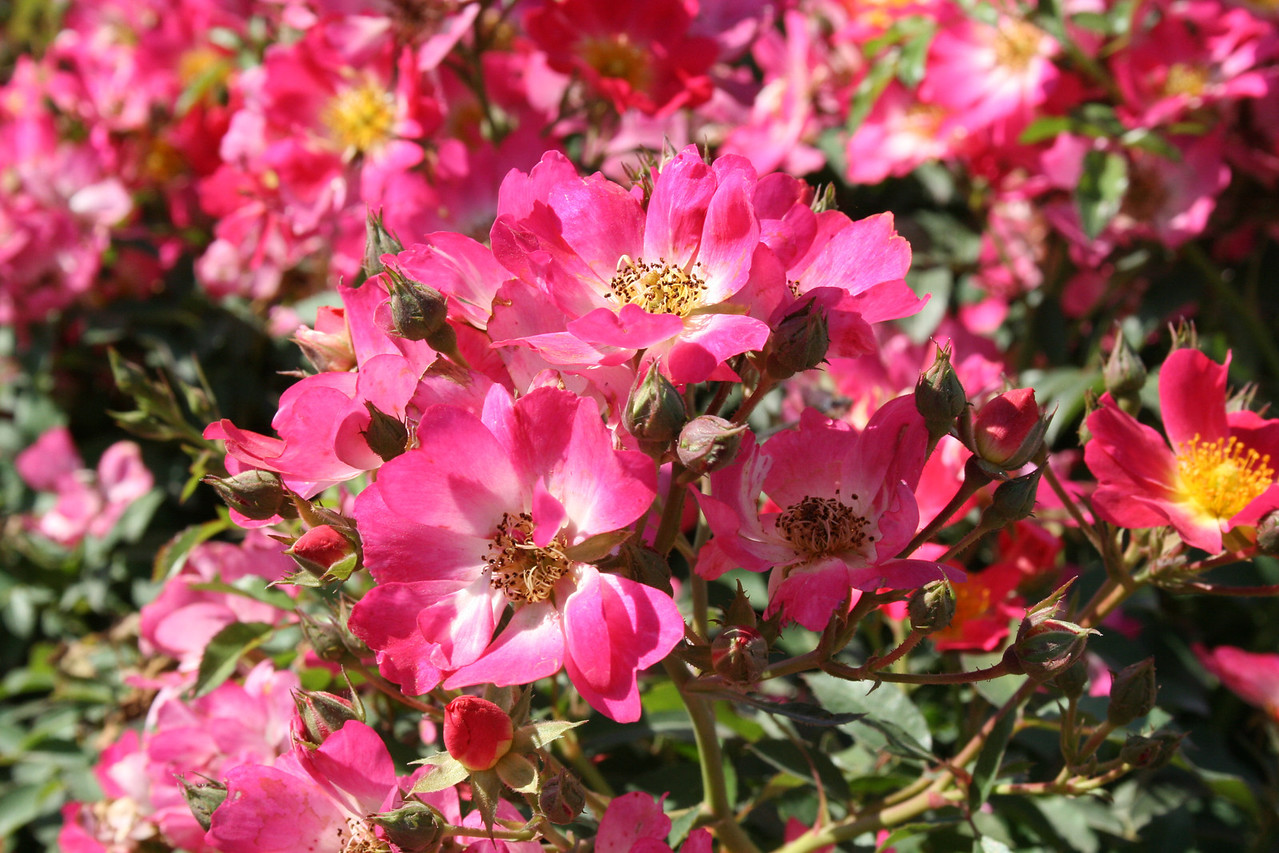 Pink Drift® Rose PP18874 http://www.greenleafnursery.com/index.cfm/fuseaction/plants.plantDetail/plant_id/2495/index.htm
