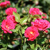 Red Drift® Rose PP17877 http://www.greenleafnursery.com/index.cfm/fuseaction/plants.plantDetail/plant_id/2496/index.htm