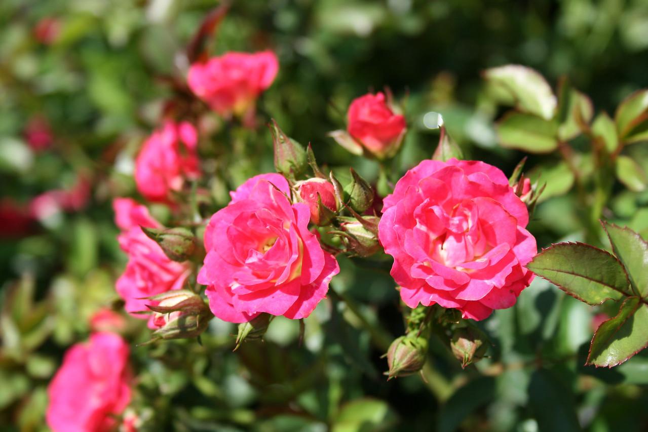 Red Drift® Rose PP17877 http://www.greenleafnursery.com/index.cfm/fuseaction/plants.plantDetail/plant_id/2496/index.htm