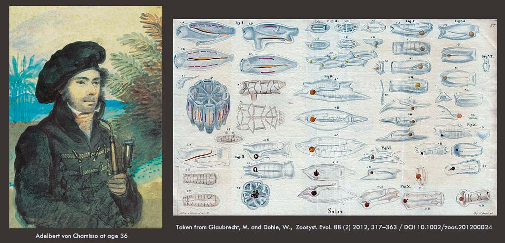 Chamisso's illustrations