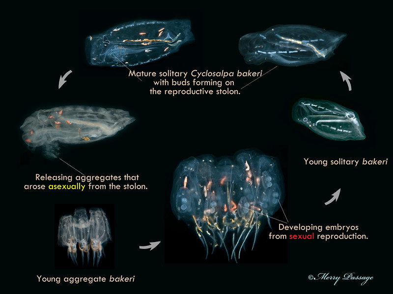 Alternation of Generations - The Reproductive Cycle of Cyclosalpa bakeri
