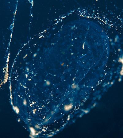 Larvacean - Bathochordaeus charon