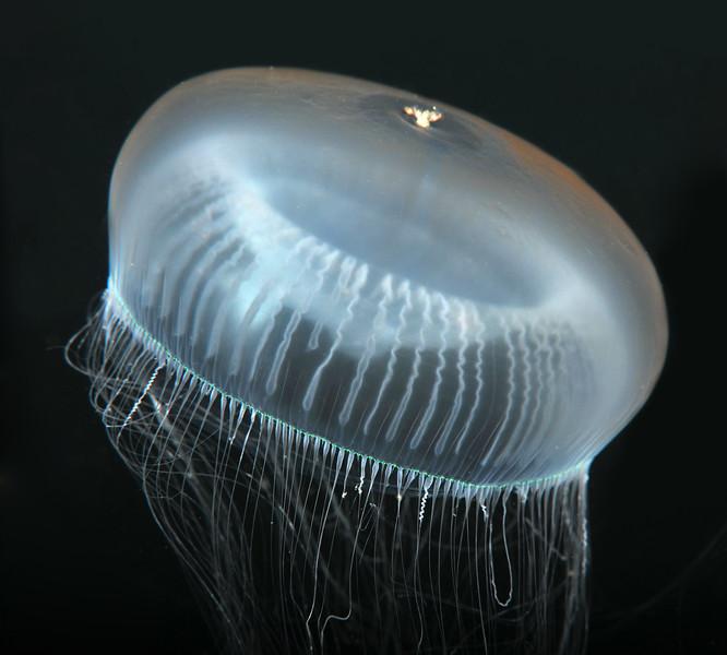 Crystal Jelly
