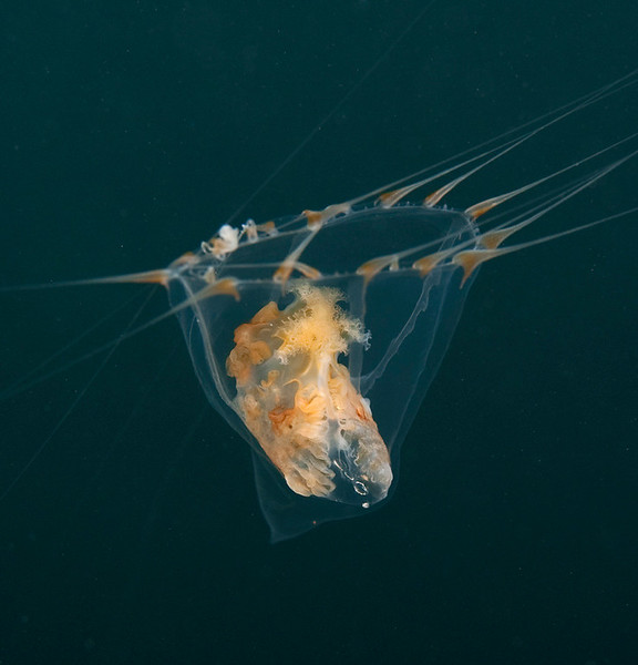 Leuckartiara sp.<br /> 3 miles off Redondo Beach, California